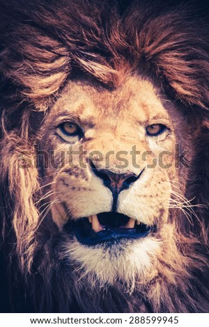 Close up of a male lion with manes and a dangerous and powerful face - animal portrait - stock photo