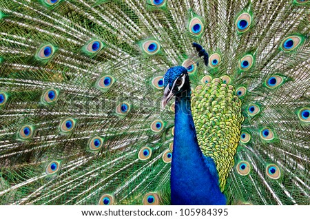 Close up of a male peacock displaying its stunning tail feathers