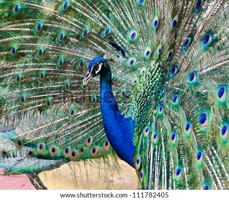 Close up of a male peacock displaying its stunning tail feathers - stock photo