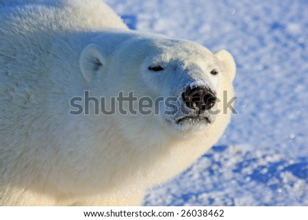 Close-up of a male polar bear in the arctic