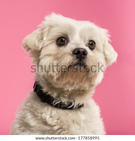 Close-up of a Maltese, 5 years old, isolated on a pink background - stock photo