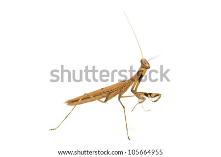 close up of a mantis, its paws have colored stripes