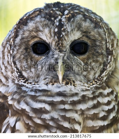 Close-up of a Maryland Barred Owl - stock photo