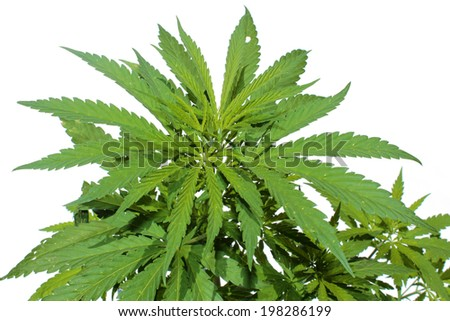 Close up of A Medical Marijuana Plant isolated on white. This strain of Marijuana is called White Widow. Medical Marijuana is quickly becoming legalized in many of the united states. - stock photo