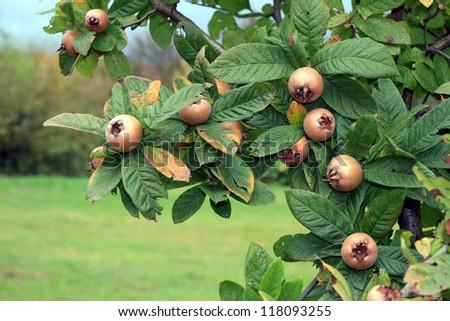 Poperin pear