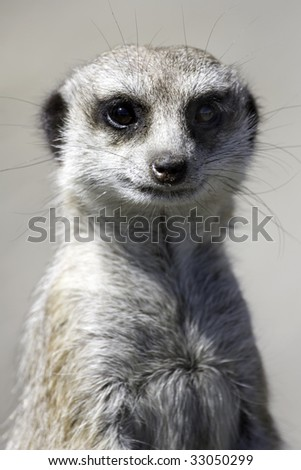 Close up of a meercat on watching for preditors - stock photo