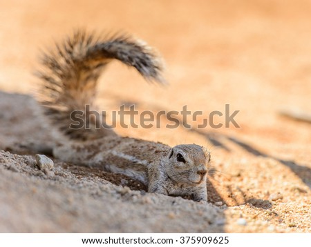 Close up of a Meerkat in Namibia