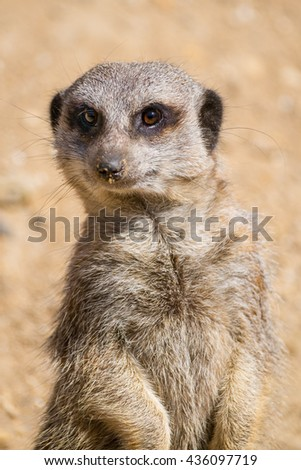 Close up of a Meerkat on watch duty. - stock photo