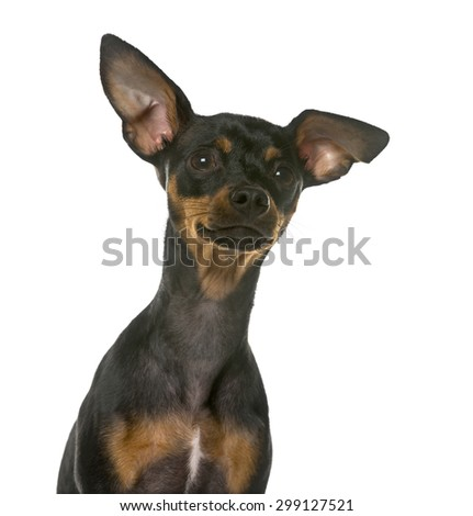 Close-up of a Miniature Pinscher in front of a white background