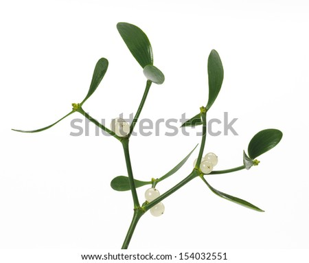 close up of a mistletoe in front of white background, Viscum album, medicinal plant, toxic - stock photo