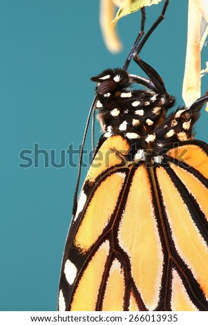Close up of a Monarch butterfly with a blue background - stock photo
