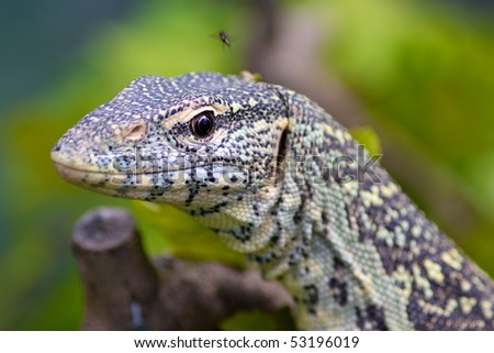 Close up of a Monitor Lizard - stock photo