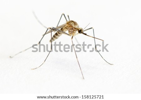 Close-up of a mosquito on a white background. Shallow DOF. Focus on eye.