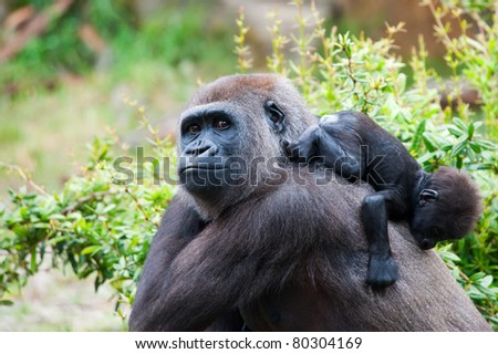 close-up of a mother gorilla and her cute baby - stock photo