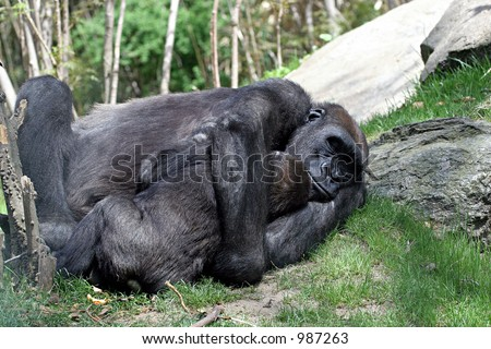 Close up of a mother gorilla embracing her baby.  The black primates are laying on green grass with trees in the background.  Horizontal with copy space for text.   - stock photo