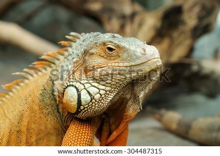 Close-up of a multi-colored male Green Iguana - stock photo