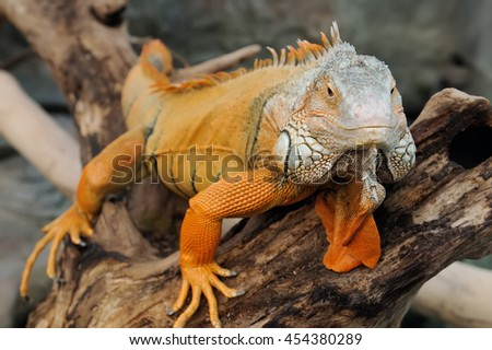 Close-up of a multi-colored male Green Iguana - stock photo