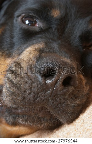 Close up of a muzzle of a Rottweiler on a pink carpet - stock photo