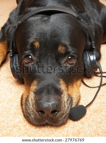 Close up of a muzzle of a Rottweiler on a pink carpet with a microphone and in ear-phones