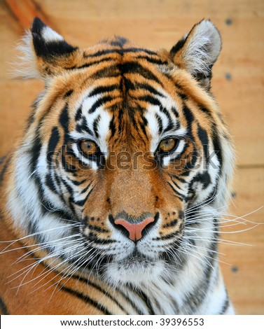 Close up of a muzzle of a tiger - stock photo