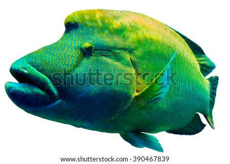 Close up of a Napoleon or Humphead Wrasse in the Red Sea. - stock photo