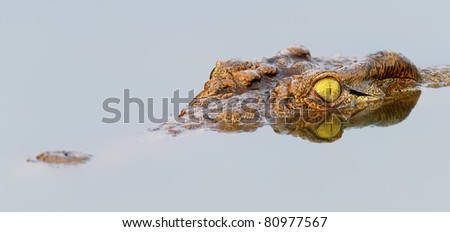 Close-up of a  Nile crocodile with  reflection in water ( crocodylus niloticus ) - stock photo