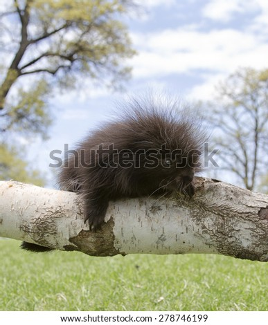 Close up of a North American porcupine baby, climbing on a birch branch. Hang in there!  - stock photo