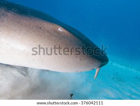 Close-up of a Nurse shark's profile  - stock photo