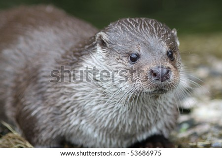 Close up of a otter feeding - stock photo