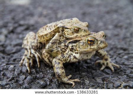 Close up of a pair of mating Common or European Toads