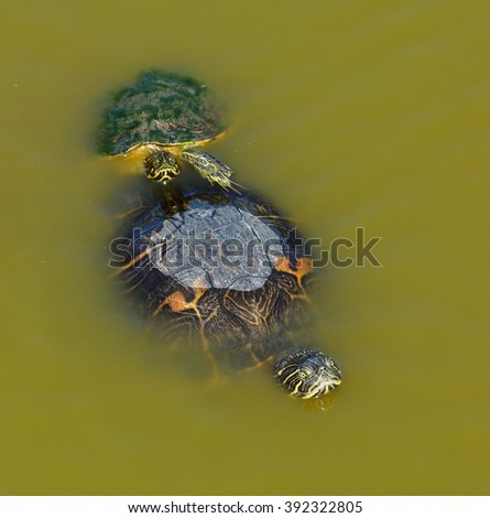 Close up of a pair of Red Eared Slider Turtles (Trachemys scripta elegans), preparing to mate or breed. - stock photo