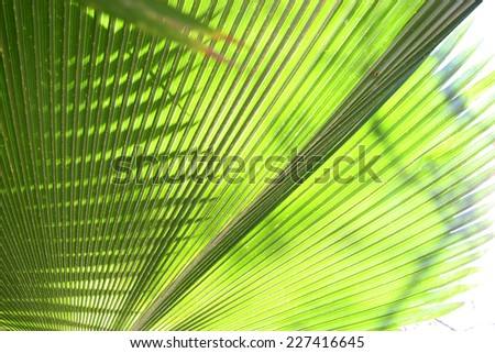 Close up of a palm tree leaf with sunlight shining though showing the veins. - stock photo