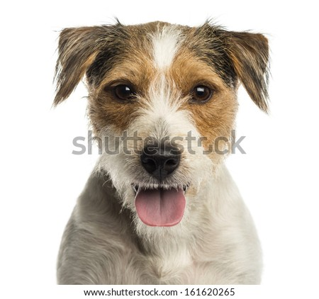 Close-up of a Parson russel terrier panting, looking at the camera, isolated on white