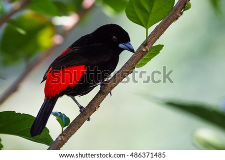 "close up of a passerini""s tanager or carpet rumped tanger in the Costa Rican rainforest"
