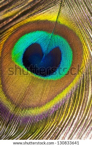 Close up of a peacock feather Background - stock photo