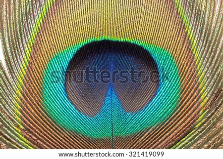 Close up of a peacock feather texture for background. - stock photo