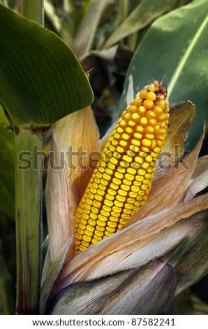 Close-up of a peeled corn cob in a corn field - stock photo
