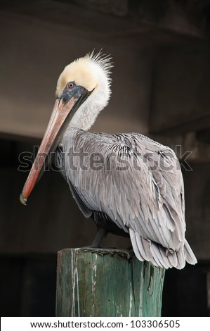Close Up of a Pelican Sitting on a Wooden Pole - stock photo