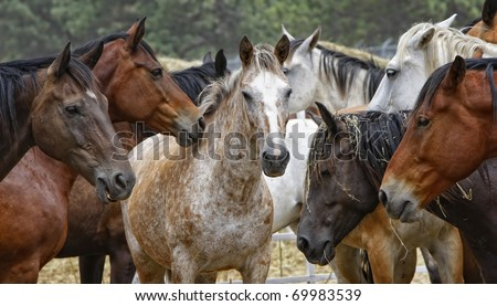 Close-up of a penned herd of untamed horses in the modern American west (shallow depth of field, center focus point, wide format). - stock photo