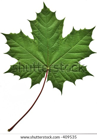 Close-up of a perfect green maple leaf isolated on white background - stock photo
