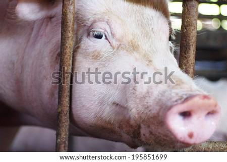 Close-up of a pig eye staring at the camera - stock photo