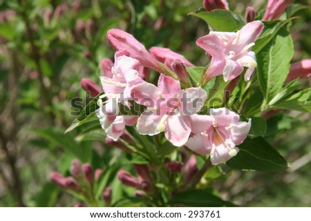 Close -up of a pink Bush Honeysuckle shot with shallow Dof focusing on flower cluster. - stock photo