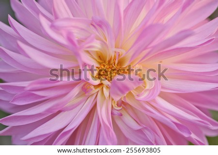 Close up of a pink dahlia blossom in early morning sunlight. Narrow depth of field - stock photo
