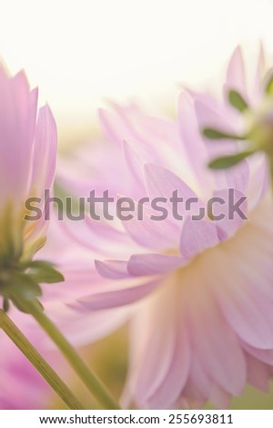 Close up of a pink dahlias. Narrow depth of field. Abstract - stock photo