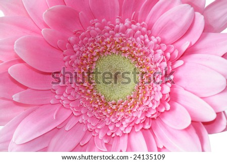 Close up of a pink gerbera flower head - stock photo