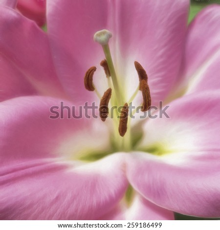 Close-Up of a Pink Lily - stock photo
