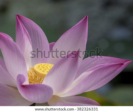 Close up of a pink Lotus, Nelumbo nucifera which is associated with  purity, spiritual awakening and faithfulness in Buddhism - stock photo