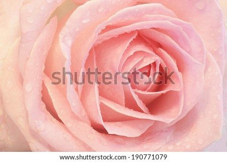 Close up of a pink rose with dew - stock photo