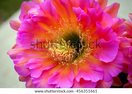 Close up of a pink Trichocereus bloom highlighting the stamen.  This is a night blooming cactus flower the morning after it bloomed. - stock photo