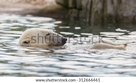 Close-up of a polarbear, enjoying the water - stock photo